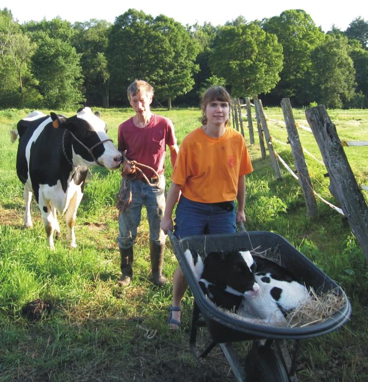 Holstein Dairy Calf